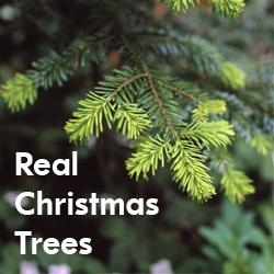 Fresh Christmas Trees in Dubai | Expat Echo Dubai