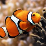water-fish-clownfish-underwater-nemo-sea-hd-wallpapers